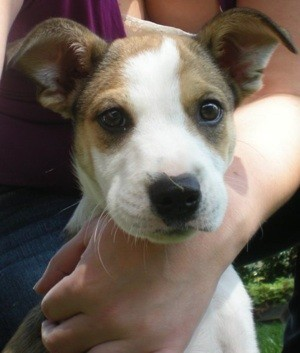 Light brown and white puppy.
