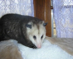 Opossum sitting near window.