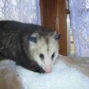 Opossum sitting near window.