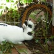 Reuse a Dog Enclosure for Rabbits