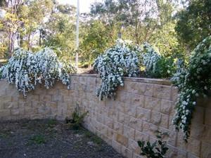 Garden: May Bushes