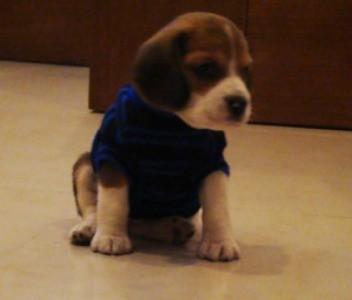 Coco (Beagle)