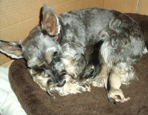 5 year old miniature schnauzer