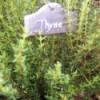 Garden tag ofr thyme.