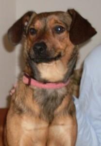 Sophie (Jack Russell Terrier - Affenpinscher)