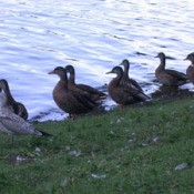 Wild Canadian Ducks