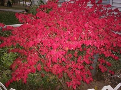 bright red foliage