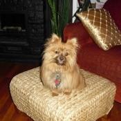 Dog on ottoman.