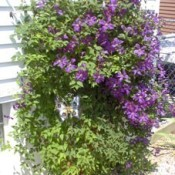 purple flowering clematis