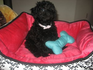 Poodle in Bed