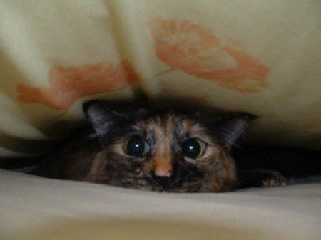 A tortoiseshell cat between bedsheets, comically peeking out.