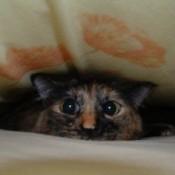 A tortoiseshell cat between bedsheets, comically peeking out.