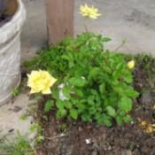 Small yellow rose bush.