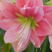 Pretty pink amaryllis bloom.