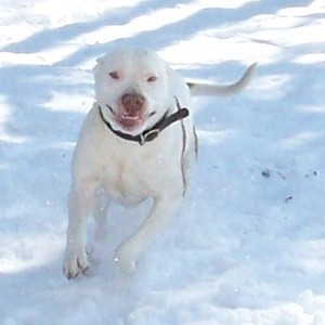 White Bulldog running in snow.