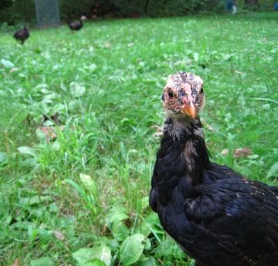 Chicken in the yard.