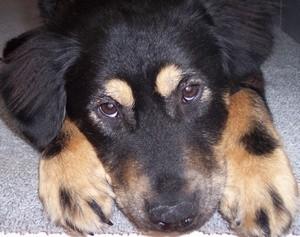 Black and tan dog.