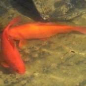 Large orange goldfish in a garden pond.