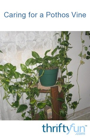 Caring For A Pothos Vine Thriftyfun