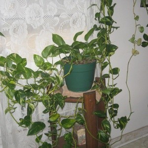 Caring for a Pothos Vine