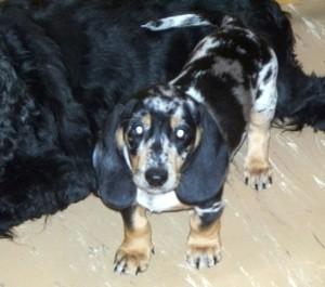 tick hound dachshund