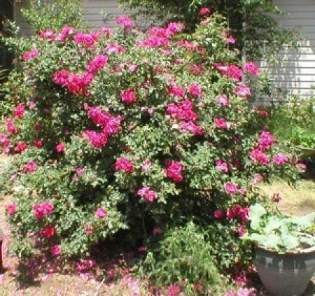Blooming rose bush.
