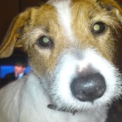 Molly-Pops (Jack Russell)