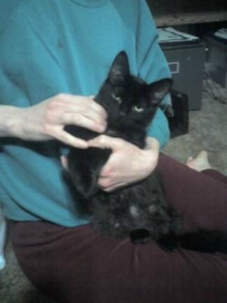 Merlin (Black Longhair)