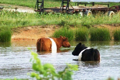 A pair of cows cooling off in a body of water.