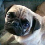 Harley (Pug)