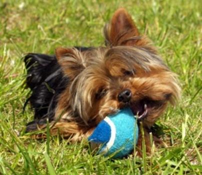 Jasper (Yorkshire Terrier)
