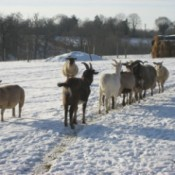 sheep and goats in the snow