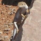 Lizard on rock.