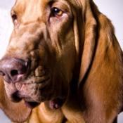 bloodhound portrait