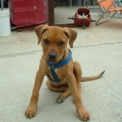 Brown puppy with blue harness.