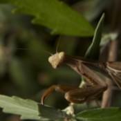 Praying Mantis (Leavenworth, WA)