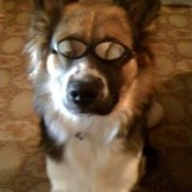 Dog wearing glasses.