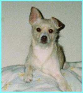 Mr Spugsley Cairn Terrier Chihuahua Mix Thriftyfun