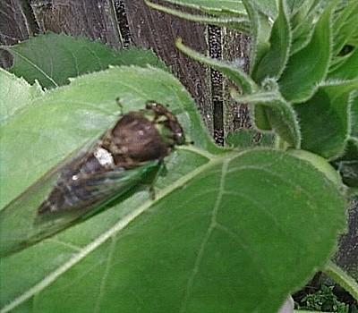 Cicadas (Ohio)