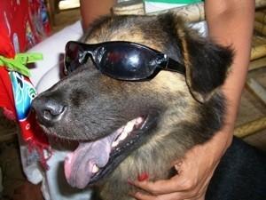 Black and tan dog in sun glasses.