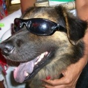 Black and tan dog in sun glasses.