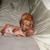 Two Dachshunds on couch.