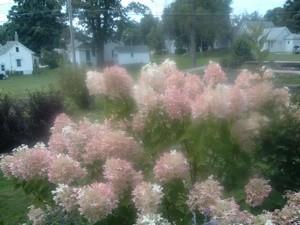 light hydrangea flowers