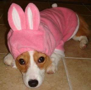 corgi in pink bunny suit