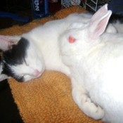 Black and white cat cuddling with a white rabbit.