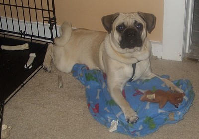 Pugsley (Puggle)
