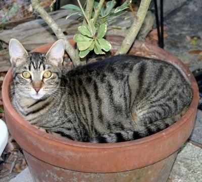 Juicy (Tabby Cat)