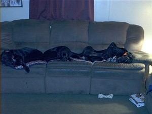 3 black dogs on the couch