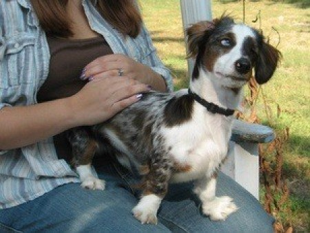 A double dapple dachshund being held in a lap.