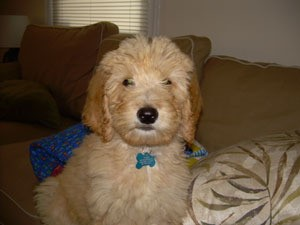 Aggressive Young Labradoodle